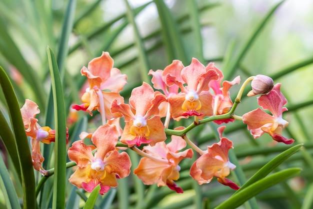 Ароматные орхидеи, апельсиновый ванда, название: udon sunshine.