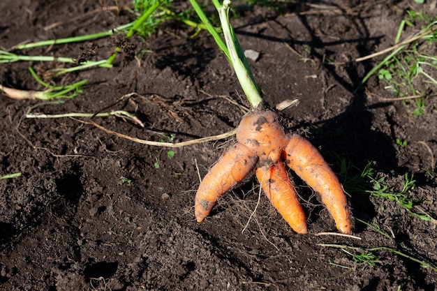 庭のベッドで醜く溶けたニンジン食べるのに適した醜い曲がった野菜