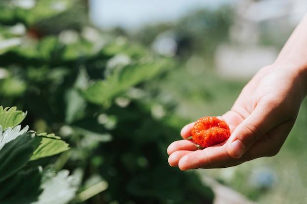 Уродливая спелая клубника в руке ребенка на ферме органической клубники