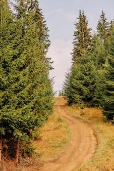 ウクライナのカルパティア山脈。松林