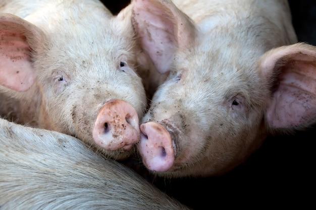 Украинские деревенские свиньи.