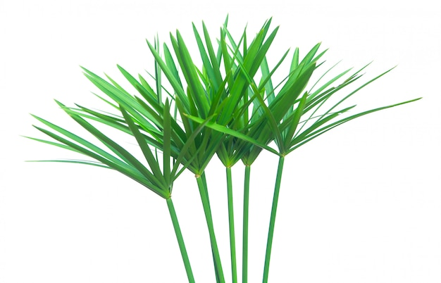 Umbrella plant, papyrus, cyperus alternifolius. isolated