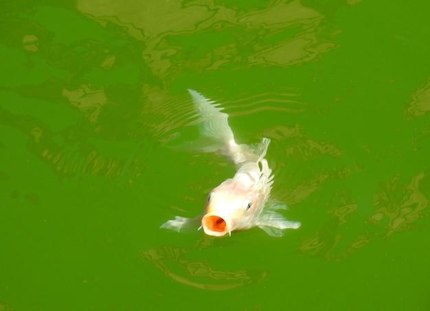 Una carpa albina nadando con la boca abierta en el lago de agua verde