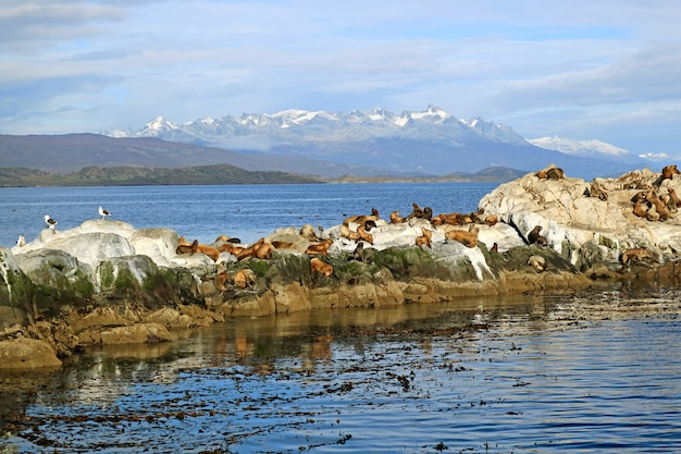 Бесчисленные морские львы на рок-айленде в проливе бигл, ушуайя, патагония, аргентина Premium Фотографии