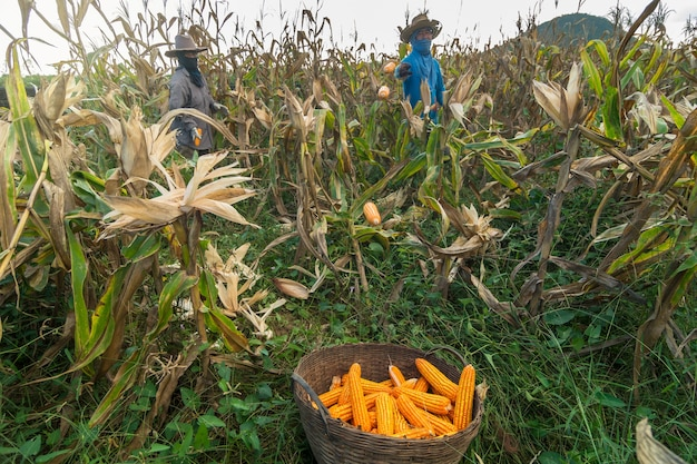 Undefined gardener harvesting the corn at corn field