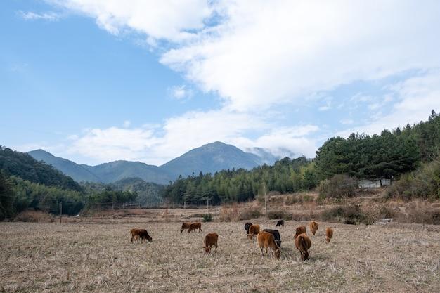 Под высокими горами, на осенних полях, группа крупного рогатого скота ест траву.