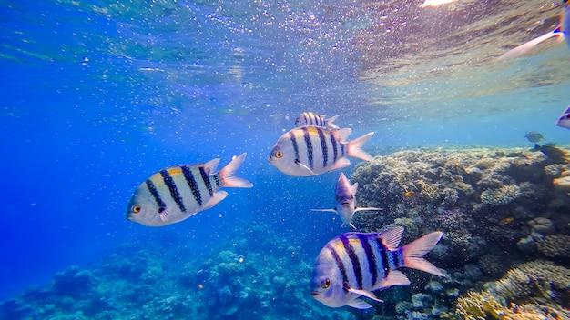 붉은 바다의 수중 왕국 줄무늬 물고기 수영