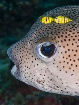 海洋動物の水中マクロ撮影。植生、水中の生き物。海の水中の海洋生物。観察動物の世界。パプアニューギニア、ソロモン海でのスキューバダイビングアドベンチャー