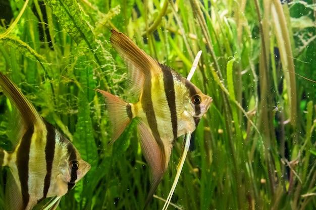 Riprese subacquee di pesci angelo di altum e alghe