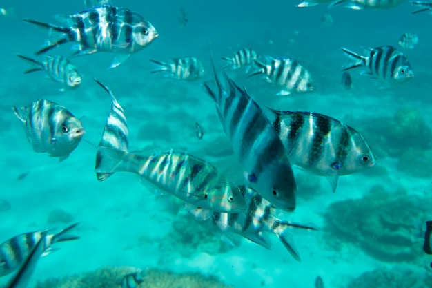 Underwater view of coral fish flock black and white striped tropical dascillus fishes school