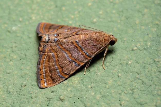 Eulepidotiscaeruleilinea種のカトカラ