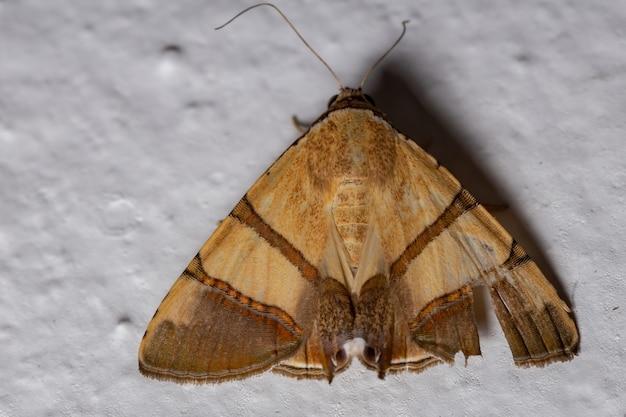種eulepidotisjuncidaのカトカラ