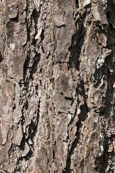 不均一な樹皮、古い木の構造のクローズアップ