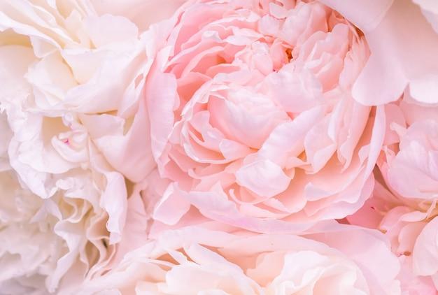 焦点の合っていないぼかしピンクのイングリッシュローズの花びら、抽象的なロマンスの背景、パステルと柔らかい花のカード