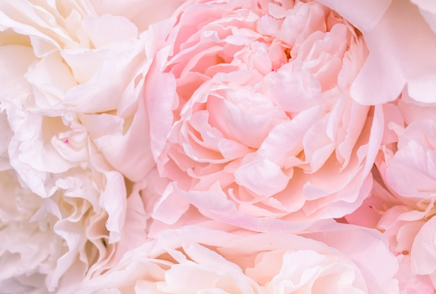 Unfocused blur pink english rose petals, abstract romance background, pastel and soft flower card
