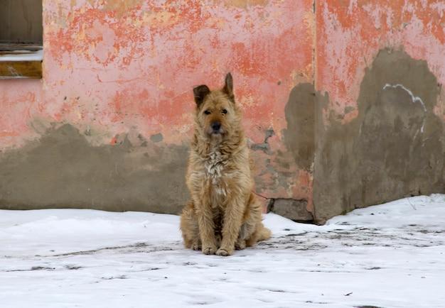 手入れの行き届いていない野良犬が雪の中で古い家の近くに座っています