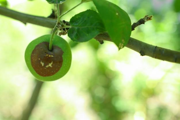 건강에 해로운 정원 식물 야외 과일 부패 바이러스 및 박테리아 병 사과 나무