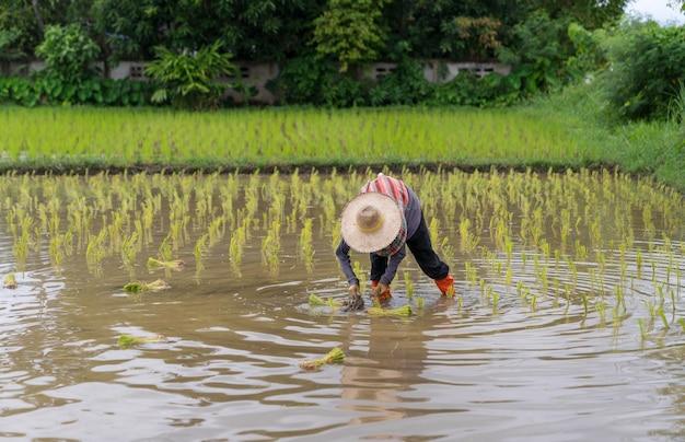 태국의 전통 벼 묘목인 신선한 녹색 논에 쌀을 심는 미확인 아시아 농부
