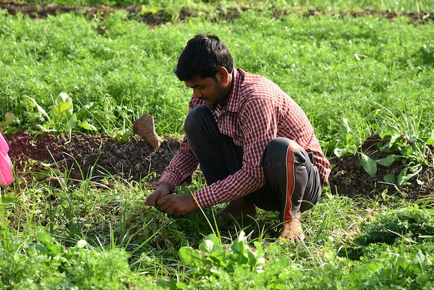Unidentified indian farm worker harvesting green coriander and holding bunch in hands at the organic farm.