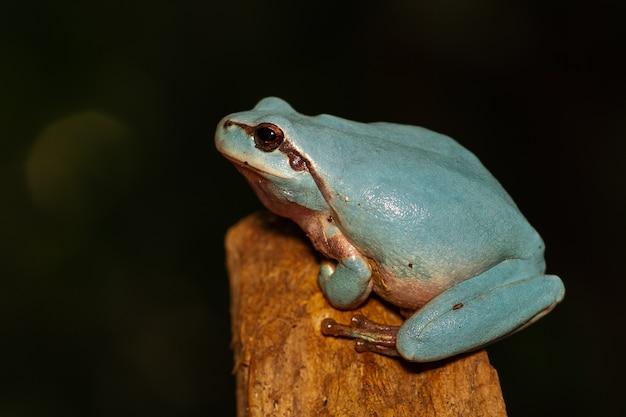 Unique blue mediterranean tree frog on a branch on a dark scene