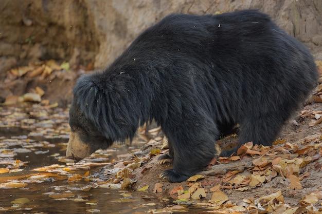 インドのナマケグマのユニークな写真