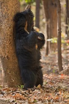 인도의 나무 늘보 곰의 독특한 사진
