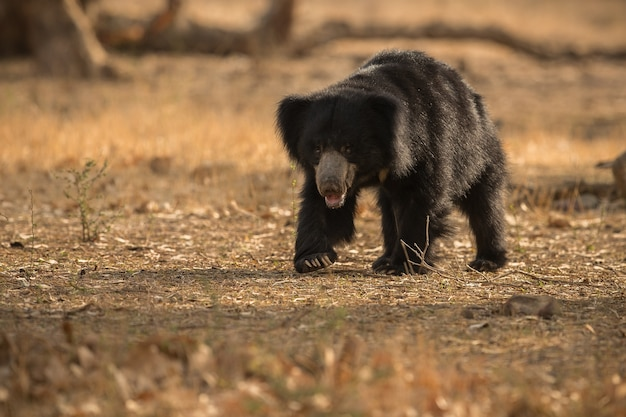 Unique photo of sloth bears in india