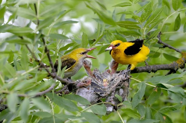 Unique shots of feeding chicks by both parents oriole simultaneously. male and female close up.