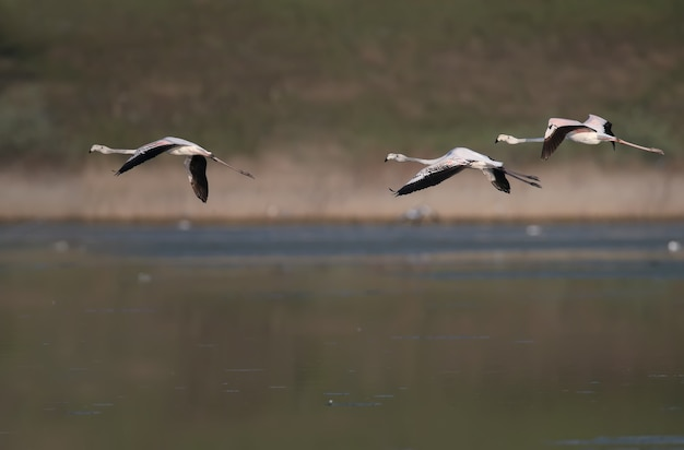 Unique shots of pink flamingos accidentally flying on the tiligulsky estuary in ukraine.