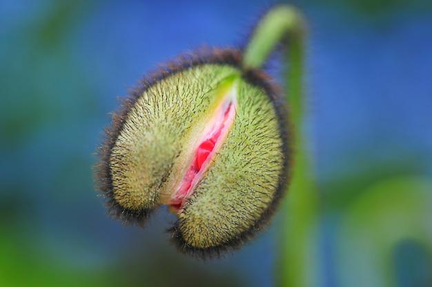 정원에서 개봉하지 않은 붉은 양귀비 꽃 봉오리
