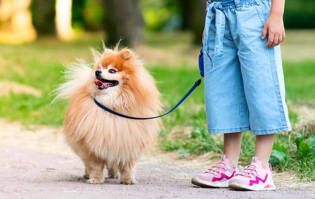 認識できない小さな女の子の子供が、かわいい小さな友達のポメラニアンスピッツの子犬と一緒に歩いています。子供の足は、公園のひもにつないで犬を抱いています。子供たちは動物、友情の概念が大好きです。