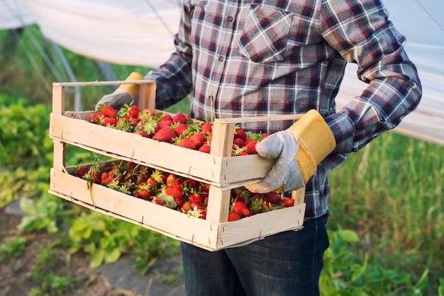 До неузнаваемости фермер в повседневной одежде несет ящик со свежесобранной клубникой