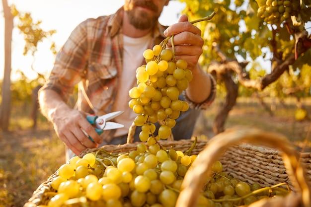 Неузнаваемый мужчина собирает спелый виноград в плетеную корзину во время сбора урожая на винограднике в осенний день в сельской местности