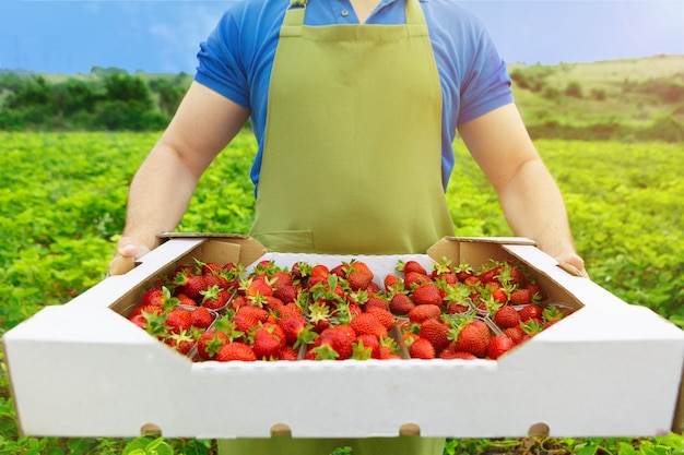 Unrecognizable man holding a box with fresh ripe strawberries in a filed