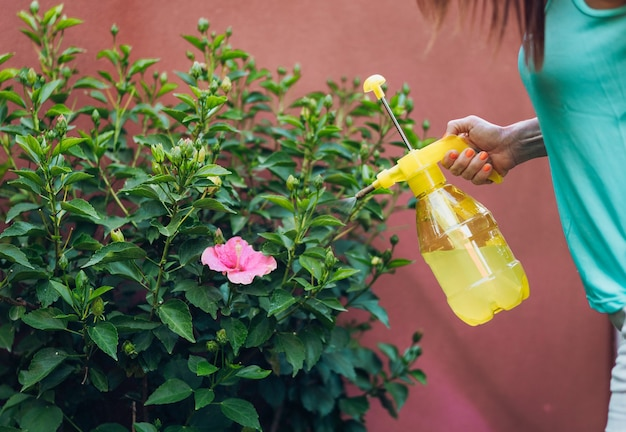 Unrecognizable woman applying aphid killer to a pink hibiscus at sunset