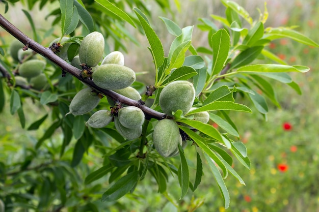 Unripe almonds on almond tree