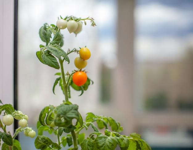 창턱에서 자라는 설익고 익은 작은 토마토. 녹색 과일이 있는 나뭇가지에 있는 온실에 있는 신선한 미니 야채. 덤불에 어린 과일. 가지에 토마토의 노란 과일