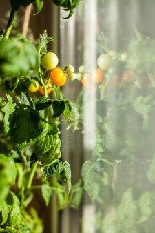 Незрелые и спелые небольшие помидоры, растущие на подоконнике. свежие мини-овощи в теплице на ветке с зелеными плодами. молодые плоды на кусте. желтые плоды помидоров на ветке