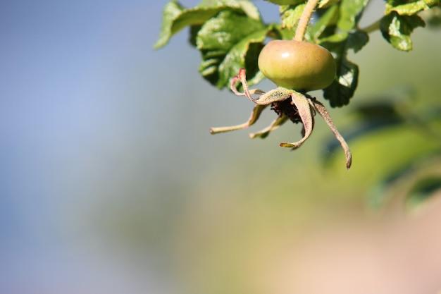 Незрелая ягода в процессе созревания