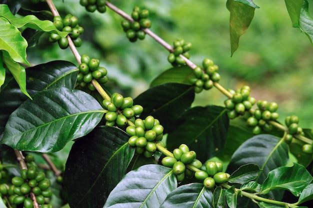Unripe coffee beans on coffee tree.