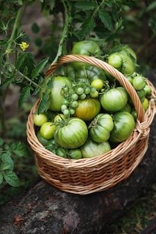 Незрелый урожай органических помидоров в корзине