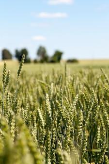 촬영 밀의 설 익은 귀 밀 농업 분야의 설 익은 녹색 귀를 닫습니다 필드의 얕은 깊이