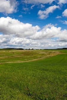 Незрелая зеленая трава, растущая на сельскохозяйственном поле