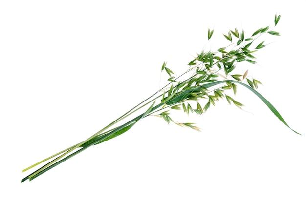 Unripe green oat ears (avena sativum), isolated on white background