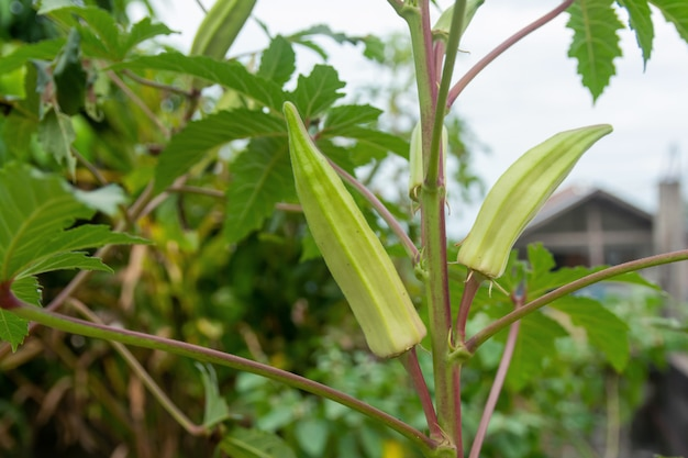 Unripe green okra hanging from a tree
