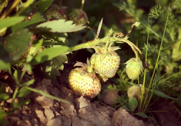 庭の未熟な緑のイチゴ。