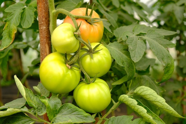 Unripe green tomato on a branch in a greenhouse