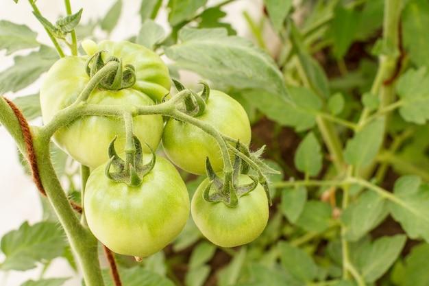 정원 침대에서 자라는 설익은 녹색 토마토. 녹색 과일과 함께 온실에 있는 토마토. 분기에 녹색 토마토입니다. 평면도.