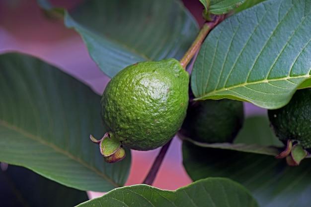 Unripe guava in guava tree