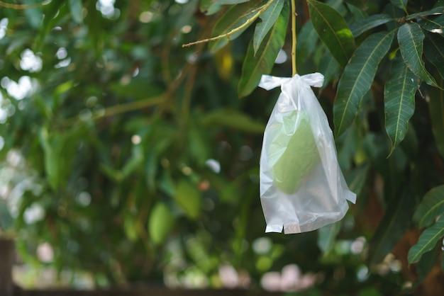 Unripe mango wrapped in plastic bag
